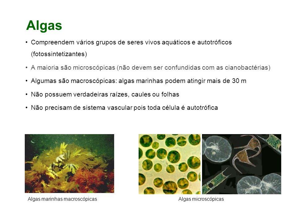 Algas Compreendem vários grupos de seres vivos aquáticos e autotróficos (fotossintetizantes)