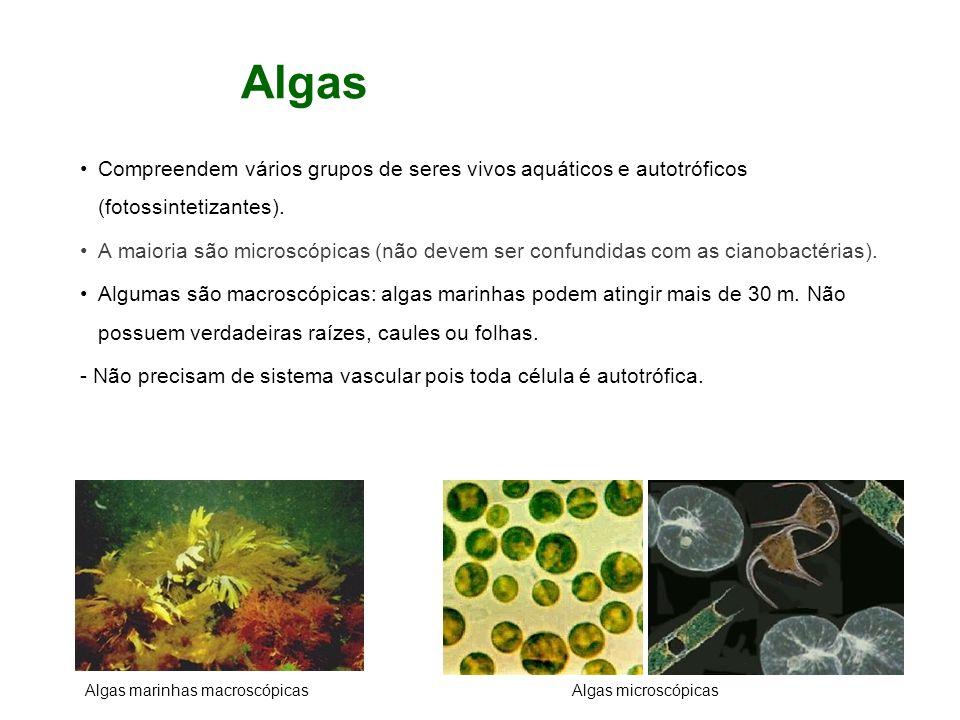 Algas Compreendem vários grupos de seres vivos aquáticos e autotróficos (fotossintetizantes).