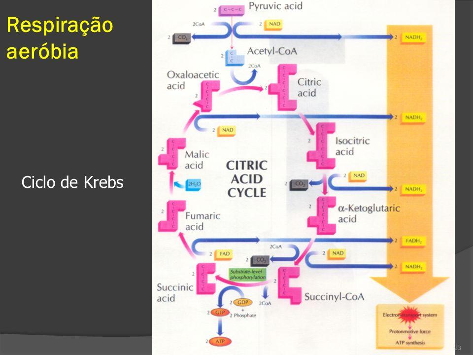 Respiração aeróbia Ciclo de Krebs