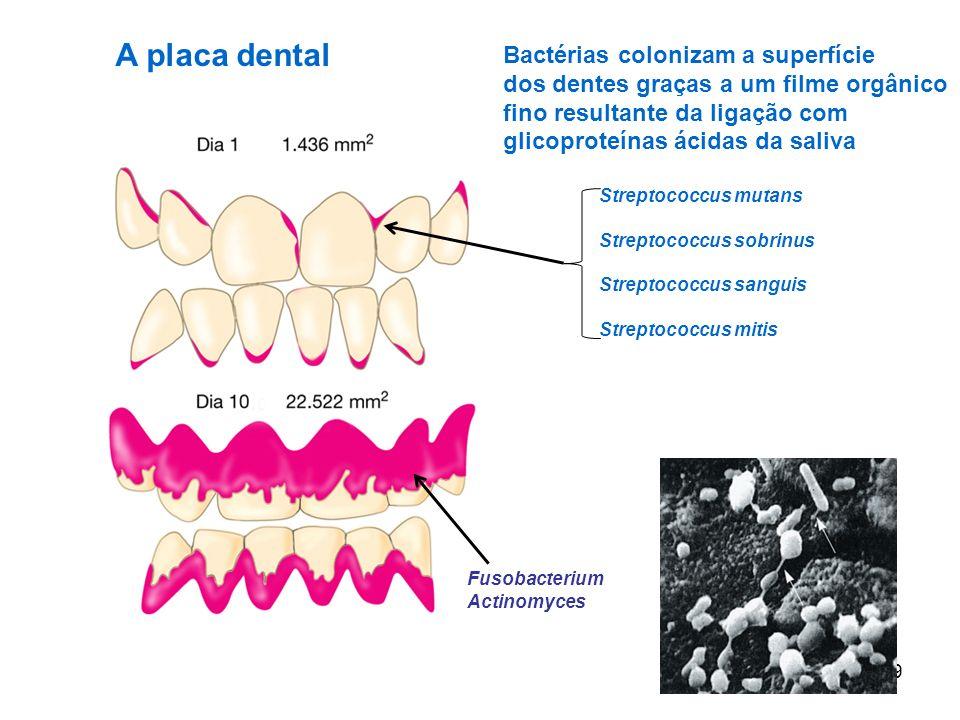 A placa dental Bactérias colonizam a superfície