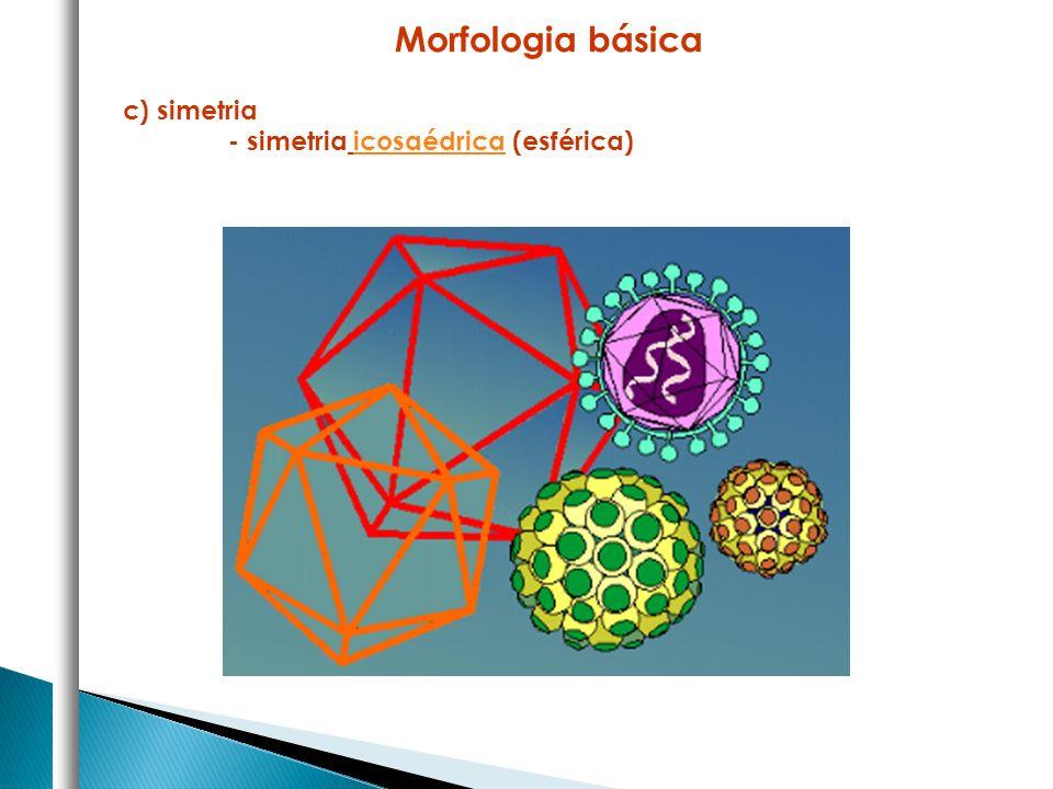 Morfologia básica c) simetria - simetria icosaédrica (esférica)