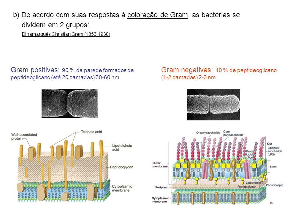 Gram negativas: 10 % de peptideoglicano (1-2 camadas) 2-3 nm