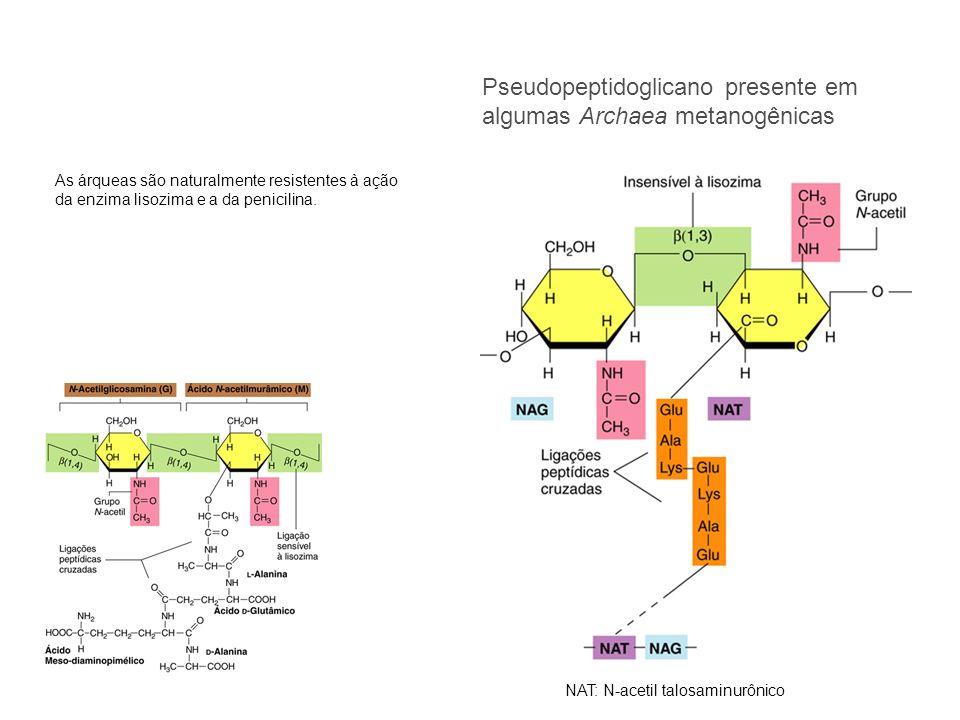 Pseudopeptidoglicano presente em algumas Archaea metanogênicas