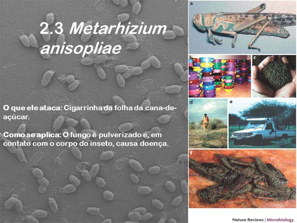 2.3 Metarhizium anisopliae