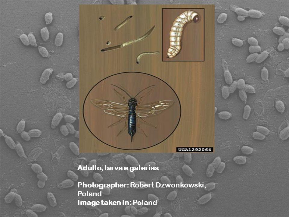 Adulto, larva e galerias