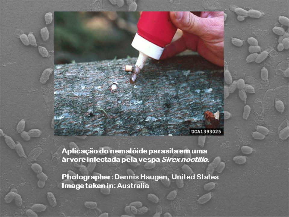 Aplicação do nematóide parasita em uma árvore infectada pela vespa Sirex noctilio.
