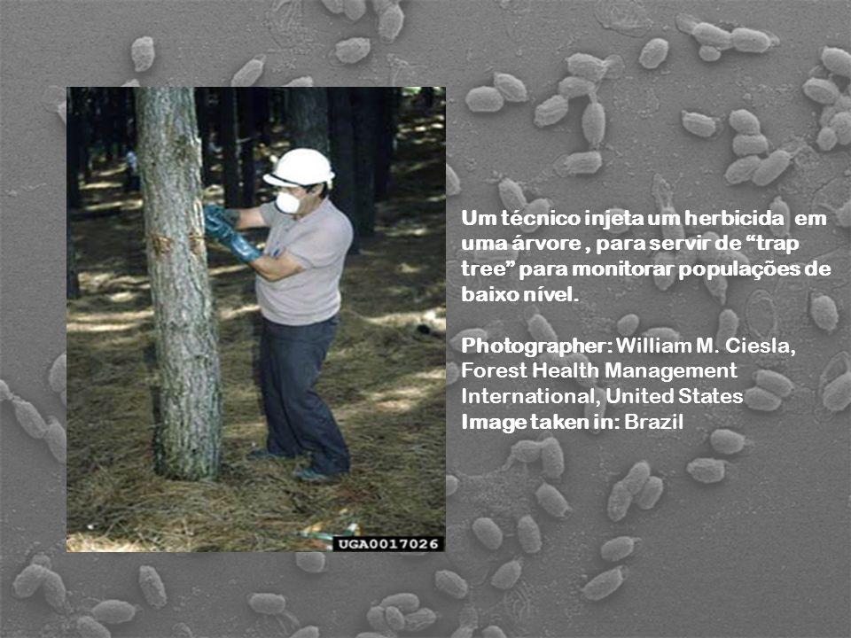 Um técnico injeta um herbicida em uma árvore , para servir de trap tree para monitorar populações de baixo nível.