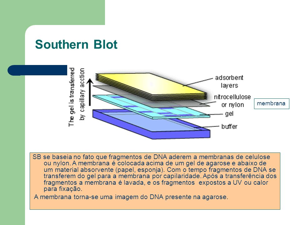 Southern Blot membrana.
