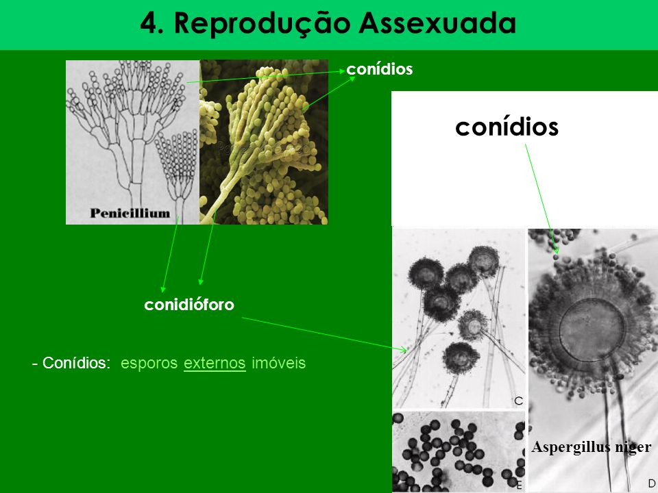 4. Reprodução Assexuada conídios conídios conidióforo