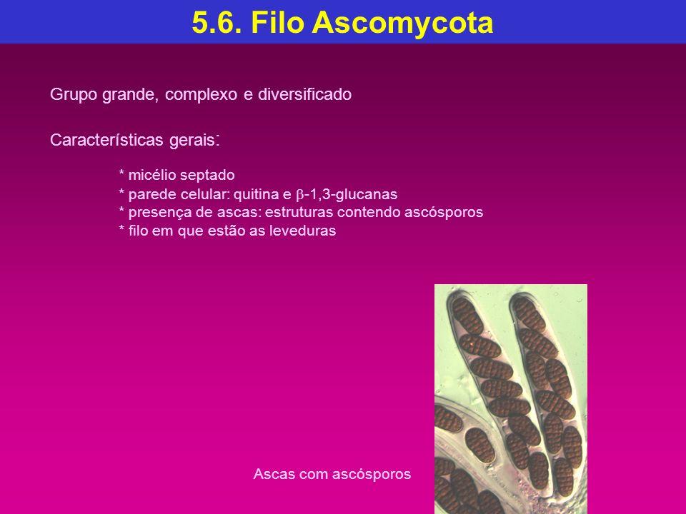 5.6. Filo Ascomycota * micélio septado