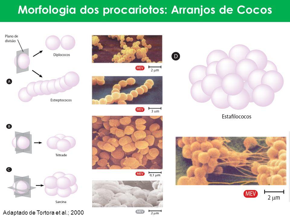 Morfologia dos procariotos: Arranjos de Cocos