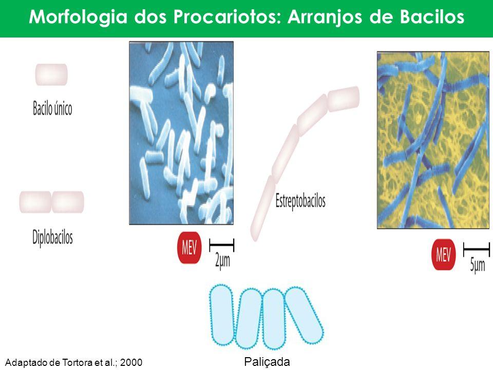 Morfologia dos Procariotos: Arranjos de Bacilos