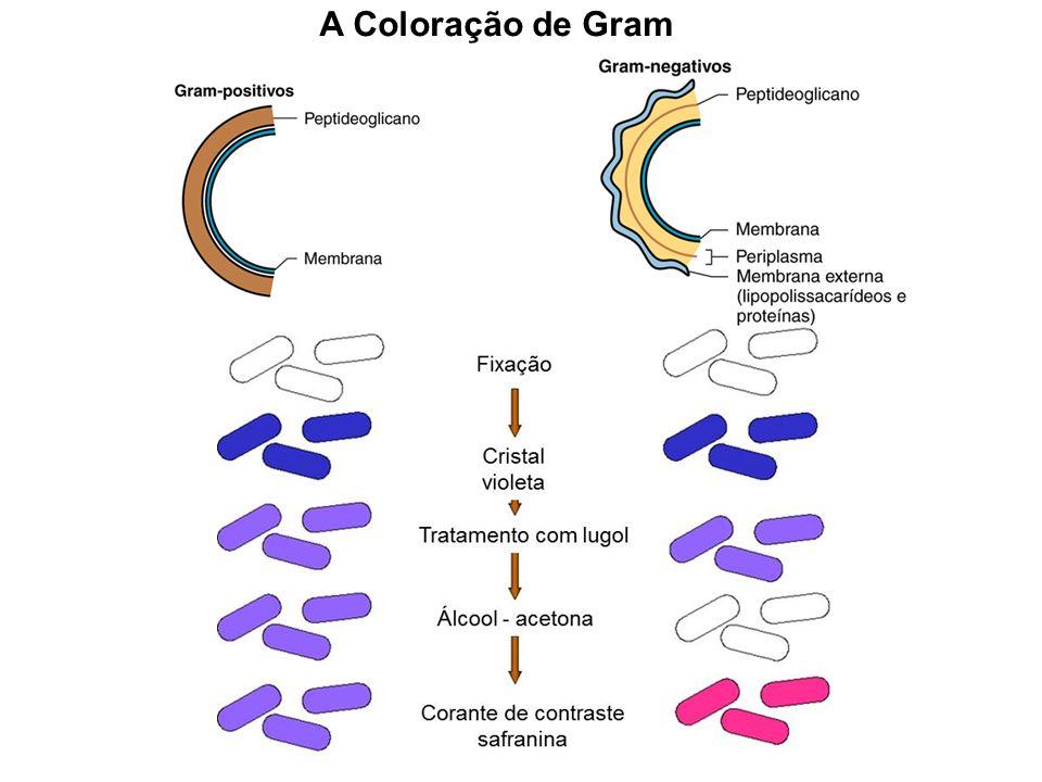 A Coloração de Gram