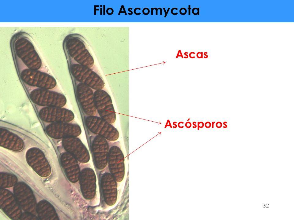 Filo Ascomycota Ascas Ascósporos