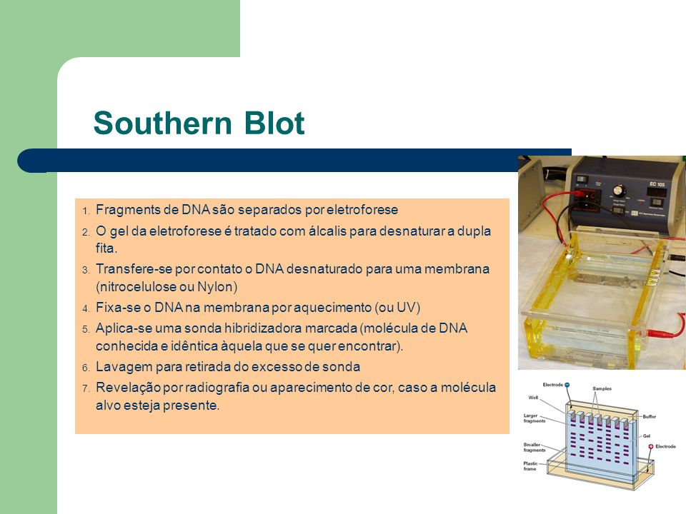Southern Blot Fragments de DNA são separados por eletroforese