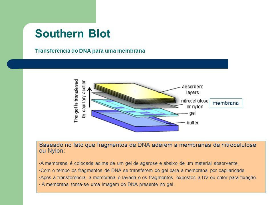 Southern Blot Transferência do DNA para uma membrana