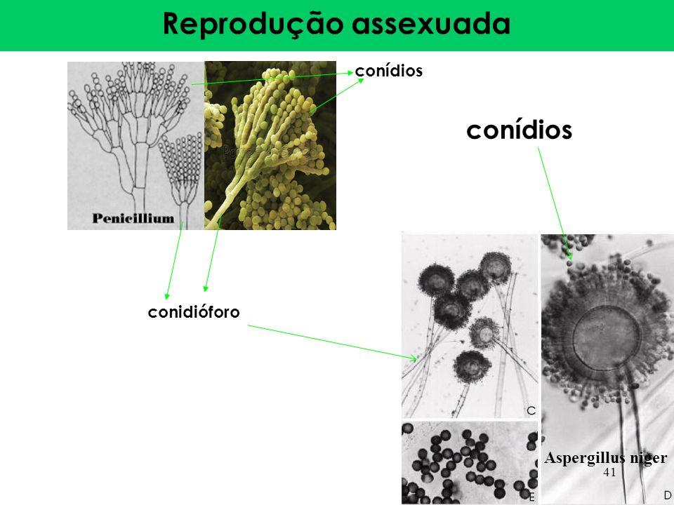 Reprodução assexuada conídios conídios conidióforo Aspergillus niger