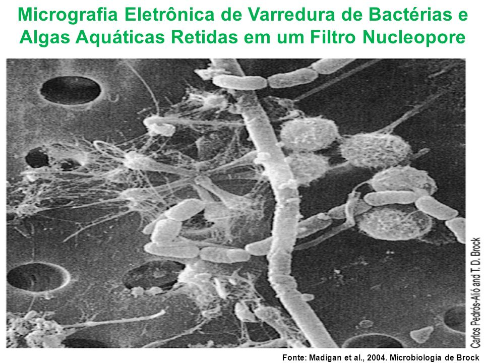 Micrografia Eletrônica de Varredura de Bactérias e Algas Aquáticas Retidas em um Filtro Nucleopore