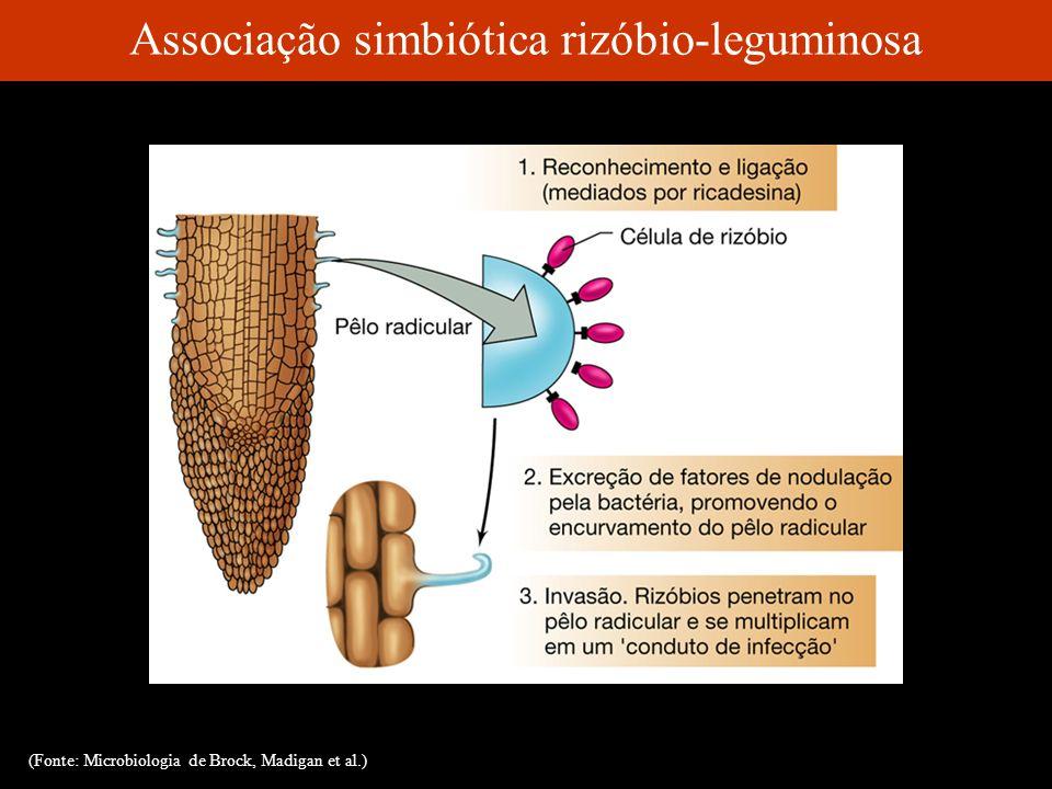 Associação simbiótica rizóbio-leguminosa