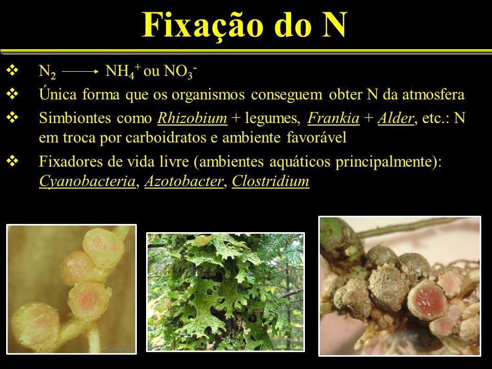 Fixação do N N2 NH4+ ou NO3- Única forma que os organismos conseguem obter N da atmosfera.