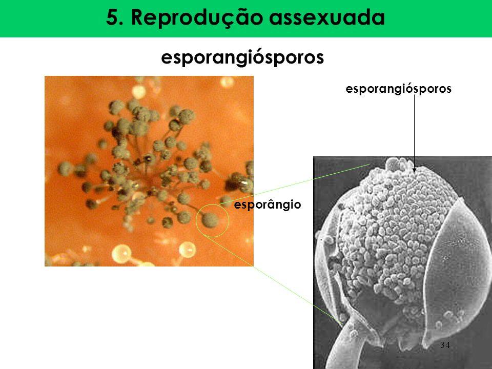 5. Reprodução assexuada esporangiósporos esporangiósporos esporângio