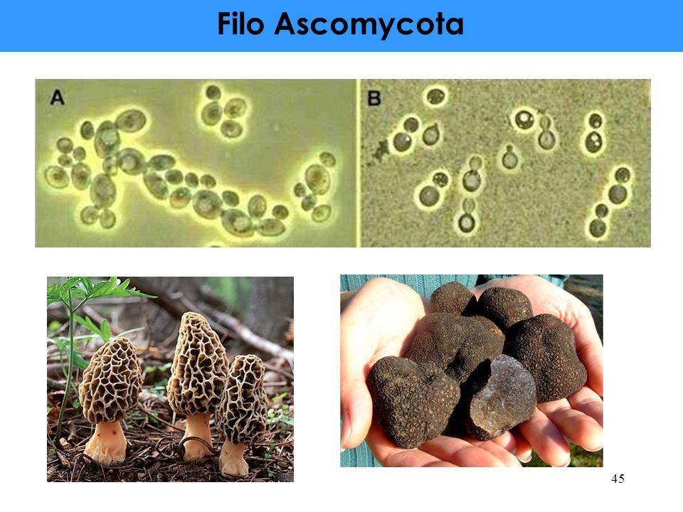 Filo Ascomycota