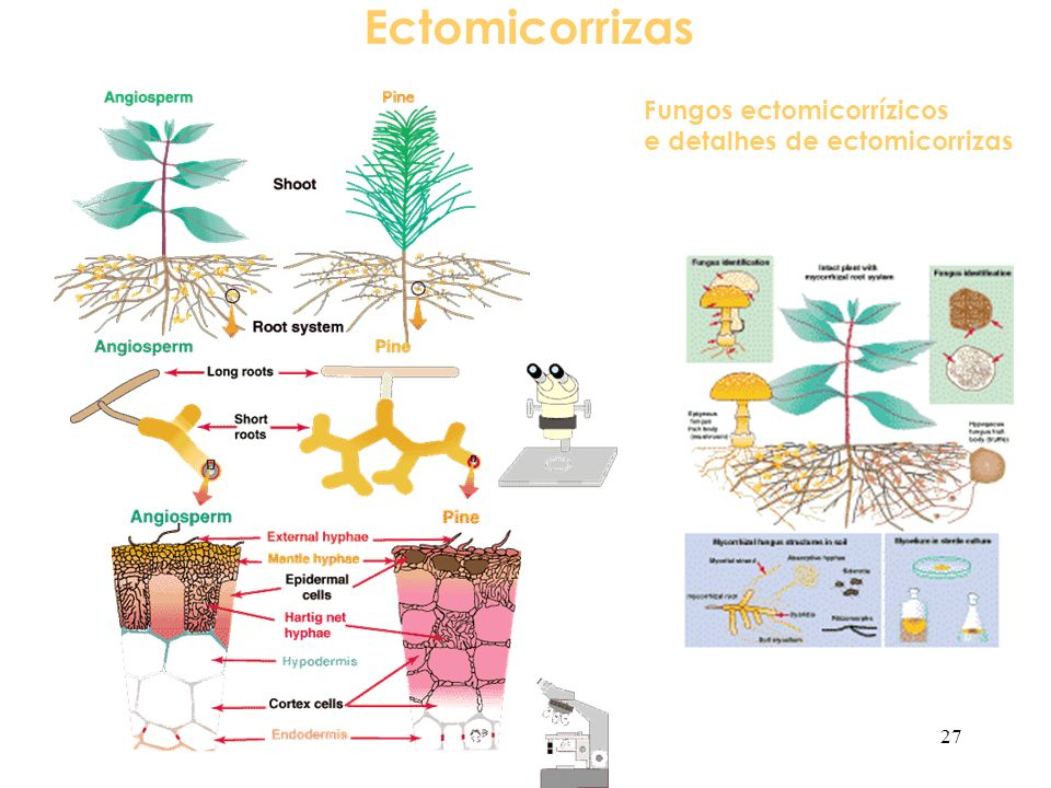 Ectomicorrizas Fungos ectomicorrízicos e detalhes de ectomicorrizas