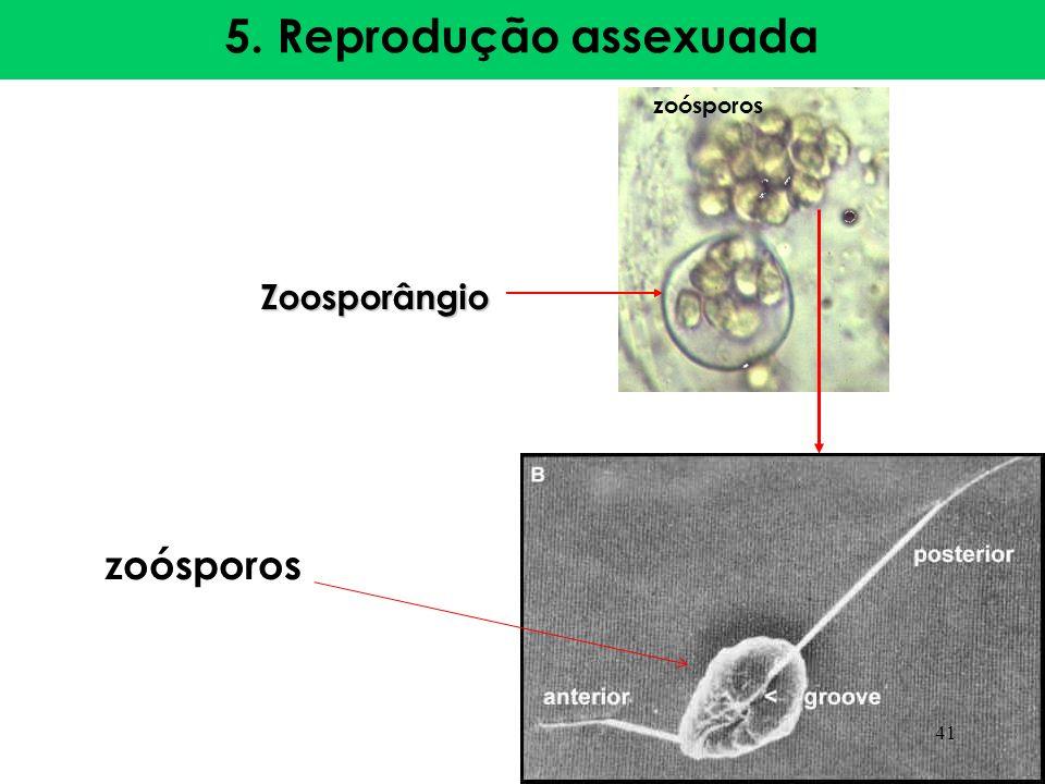 5. Reprodução assexuada zoósporos Zoosporângio zoósporos