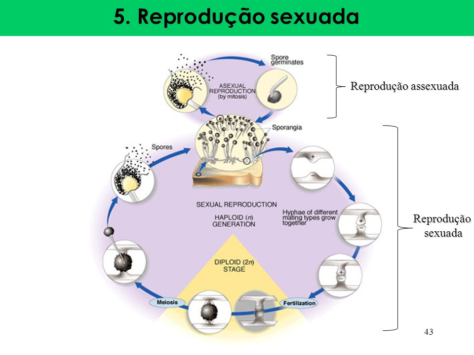 5. Reprodução sexuada Reprodução assexuada Reprodução sexuada