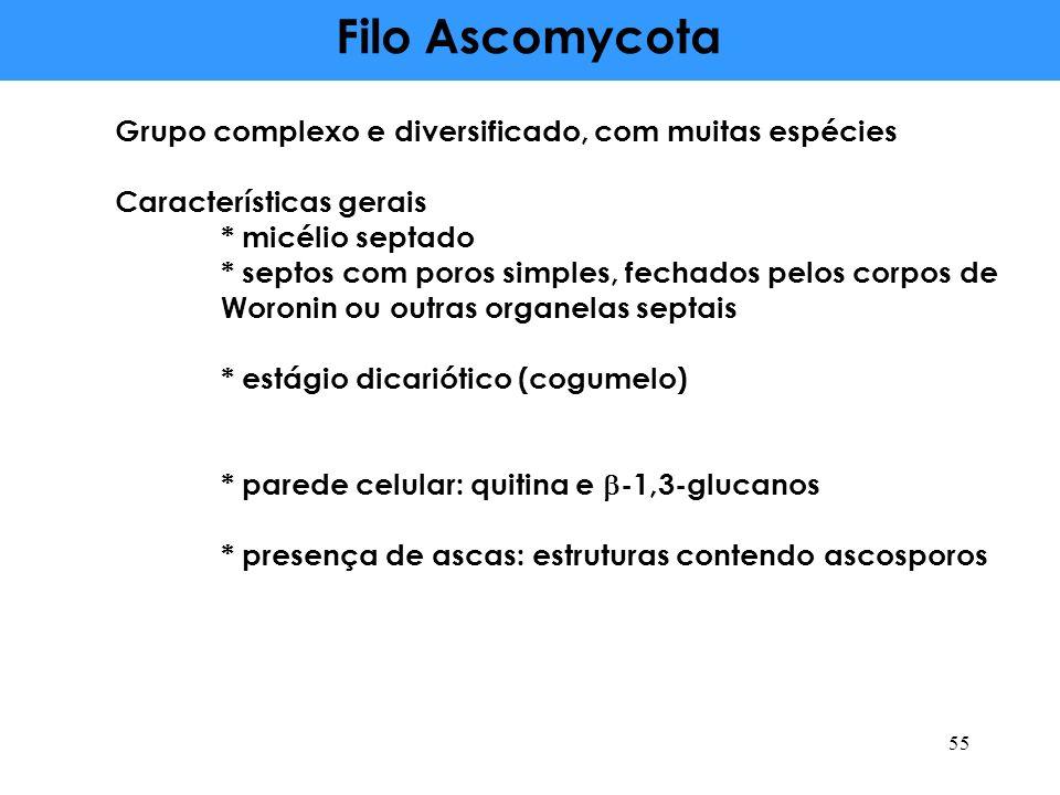 Filo Ascomycota Grupo complexo e diversificado, com muitas espécies