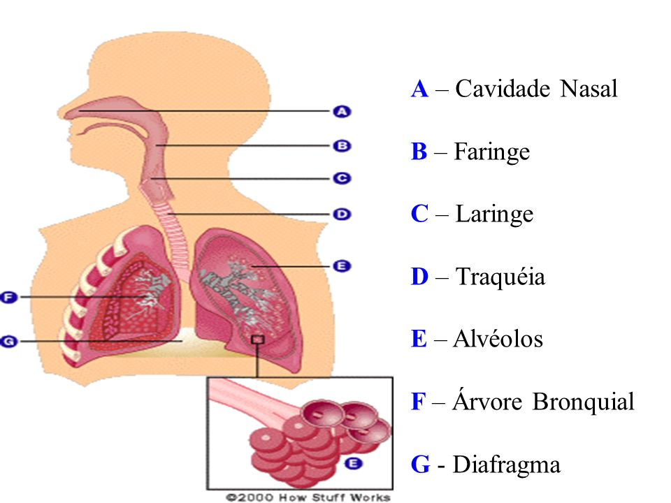 A – Cavidade Nasal B – Faringe. C – Laringe. D – Traquéia.