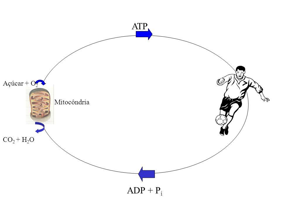 ATP Açúcar + O2 Mitocôndria CO2 + H2O ADP + Pi