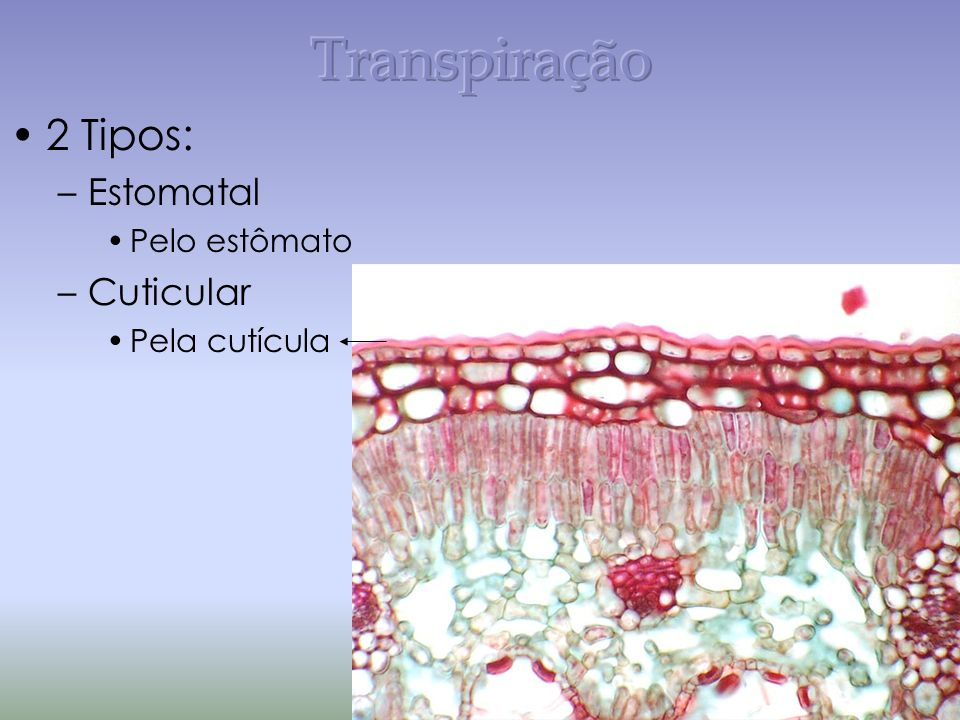 Transpiração 2 Tipos: Estomatal Pelo estômato Cuticular Pela cutícula