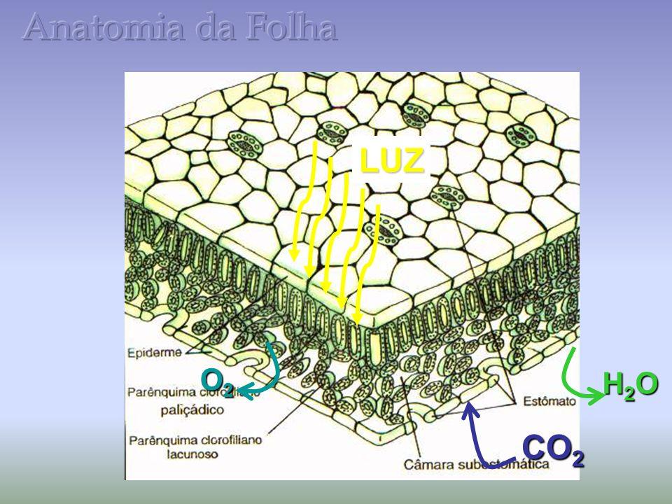 Anatomia da Folha LUZ O2 H2O CO2