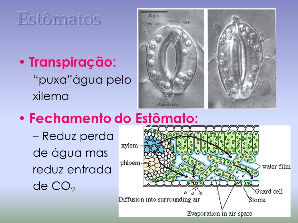 Estômatos Transpiração: Fechamento do Estômato: puxa água pelo xilema