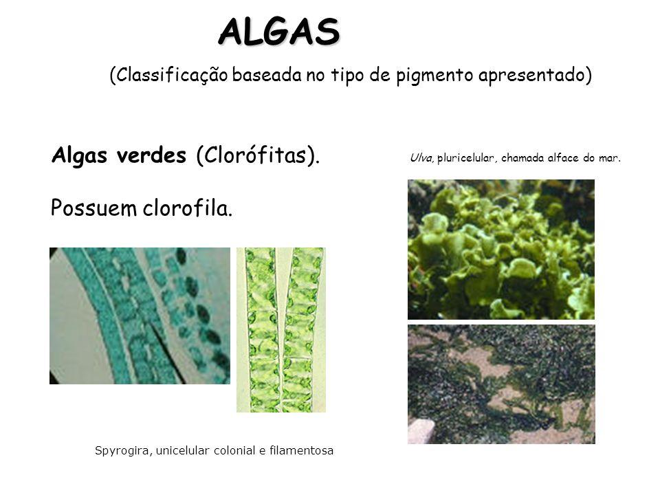ALGAS Algas verdes (Clorófitas). Possuem clorofila.