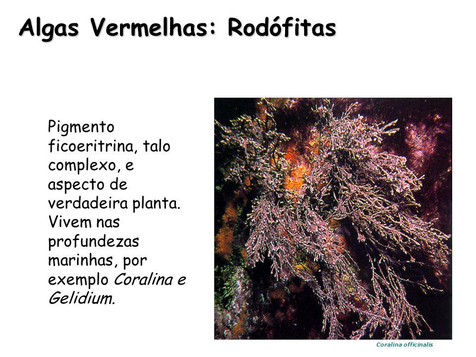 Algas Vermelhas: Rodófitas