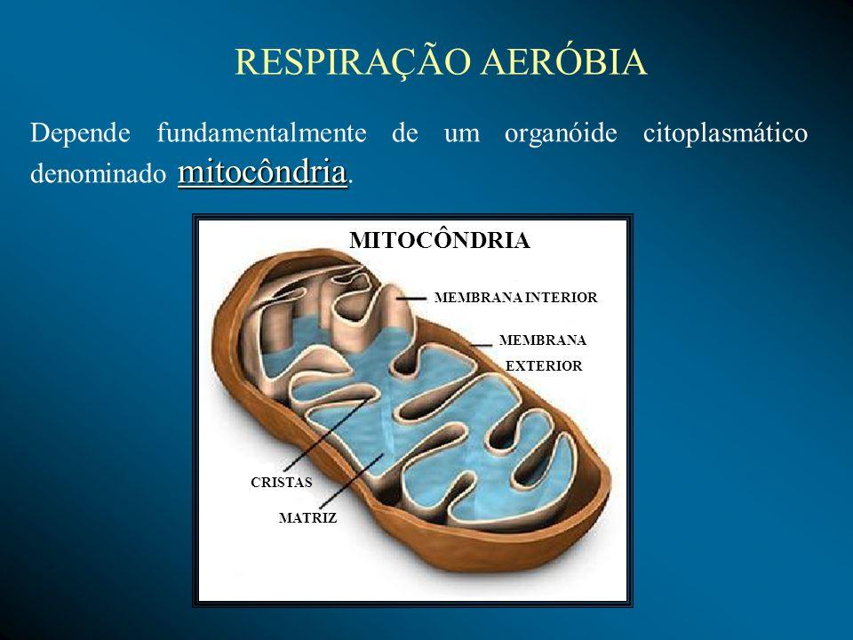 RESPIRAÇÃO AERÓBIADepende fundamentalmente de um organóide citoplasmático denominado mitocôndria. MITOCÔNDRIA.