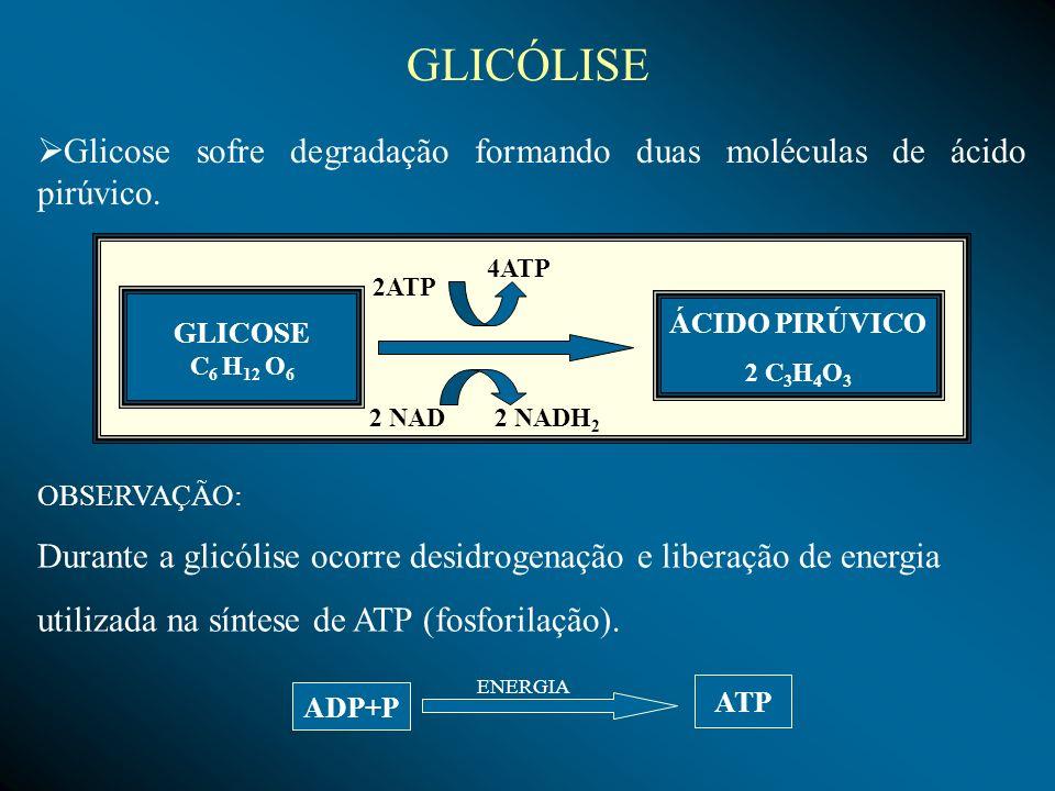 GLICÓLISE Glicose sofre degradação formando duas moléculas de ácido pirúvico. 4ATP. 2ATP. GLICOSE.