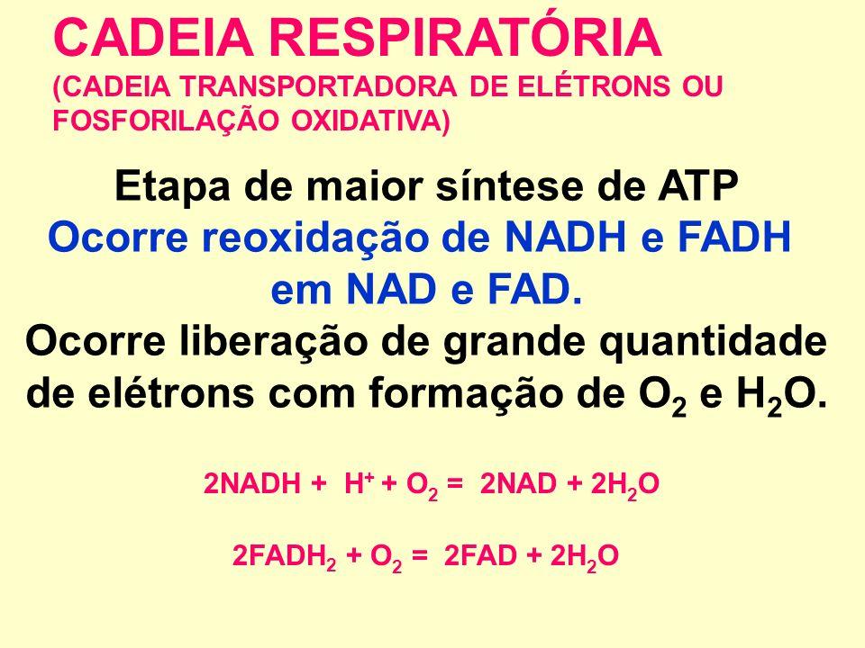 CADEIA RESPIRATÓRIA Etapa de maior síntese de ATP