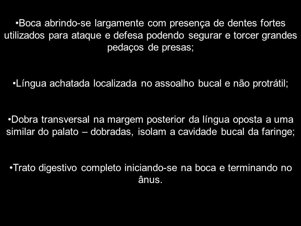 Língua achatada localizada no assoalho bucal e não protrátil;