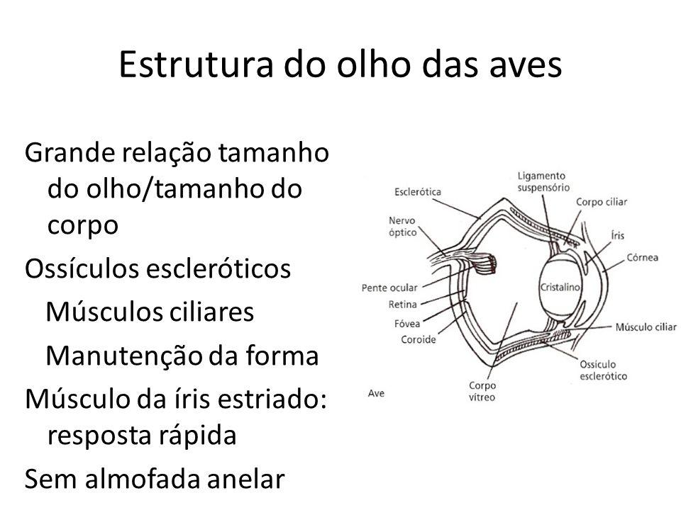 Estrutura do olho das aves