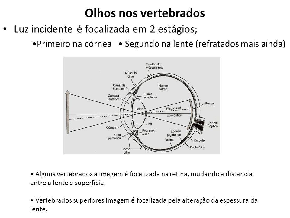 Olhos nos vertebrados Luz incidente é focalizada em 2 estágios;