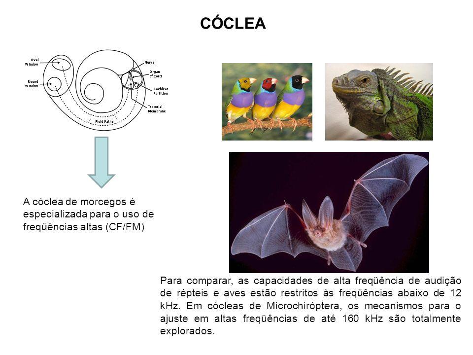 CÓCLEA A cóclea de morcegos é especializada para o uso de freqüências altas (CF/FM)