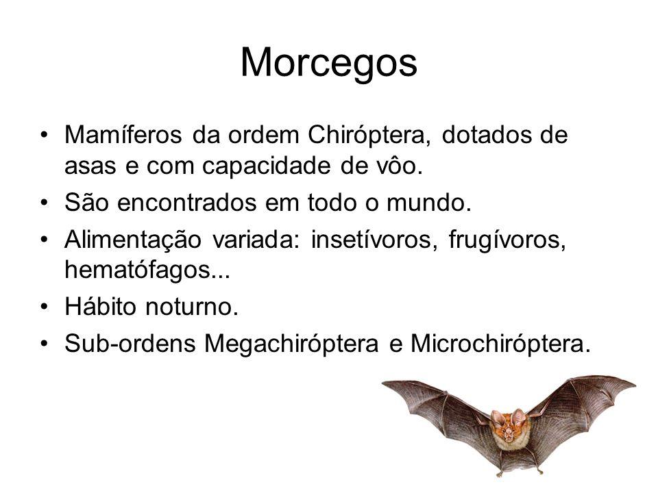 Morcegos Mamíferos da ordem Chiróptera, dotados de asas e com capacidade de vôo. São encontrados em todo o mundo.
