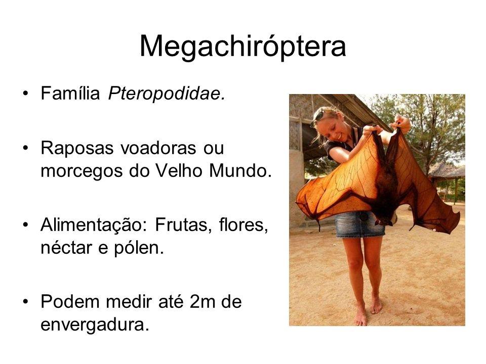 Megachiróptera Família Pteropodidae.