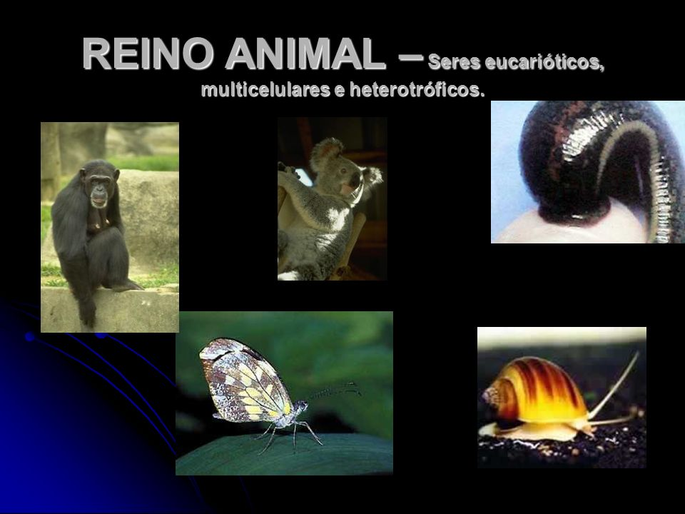 REINO ANIMAL – Seres eucarióticos, multicelulares e heterotróficos.