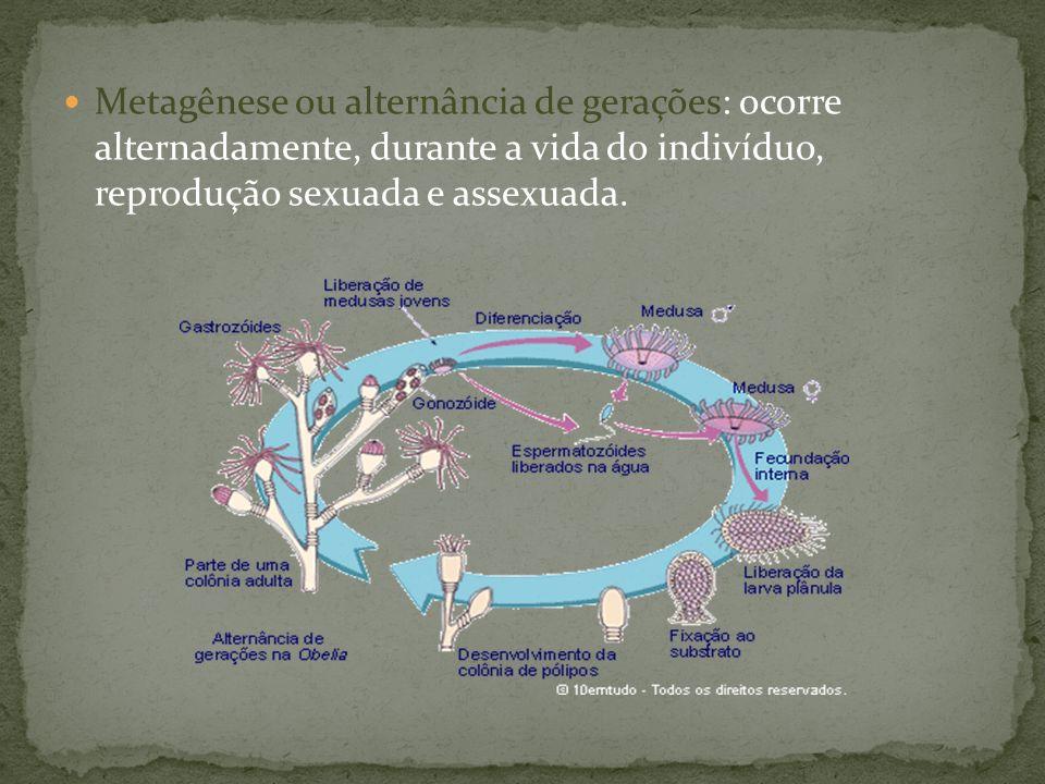 Metagênese ou alternância de gerações: ocorre alternadamente, durante a vida do indivíduo, reprodução sexuada e assexuada.