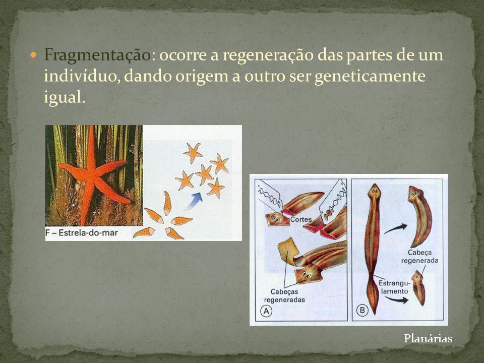 Fragmentação: ocorre a regeneração das partes de um indivíduo, dando origem a outro ser geneticamente igual.