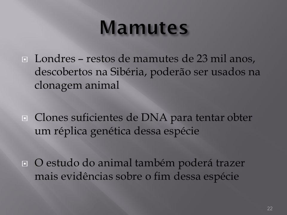 MamutesLondres – restos de mamutes de 23 mil anos, descobertos na Sibéria, poderão ser usados na clonagem animal.